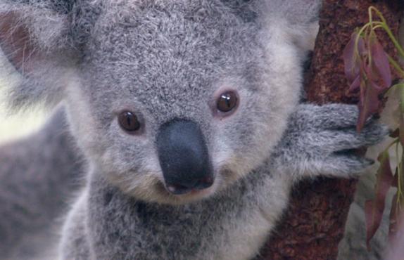 thirsty koala
